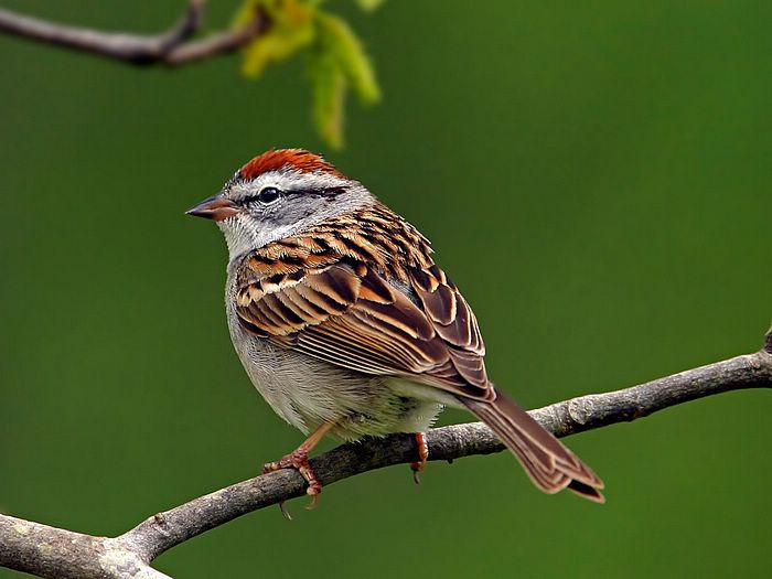http://www.flashcoo.com/animal/Fancy_Birds/images/Sparrow.jpg