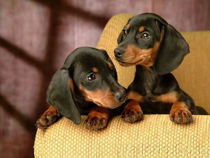 Puppy Sausage Dog