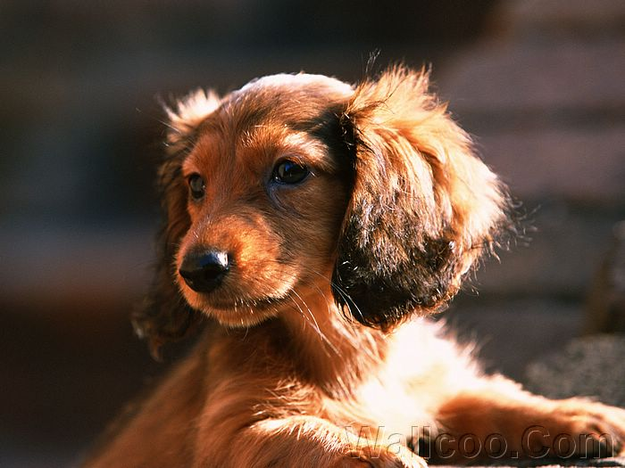 ... Dachshund Puppy Wallpapers (Vol.2) - A long-haired miniature dachshund