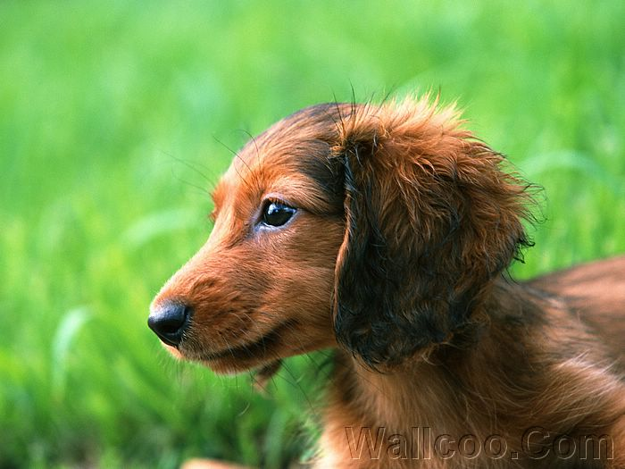 ... dachshund puppy photos, sausage dog photo,,Miniature Dachshund puppy