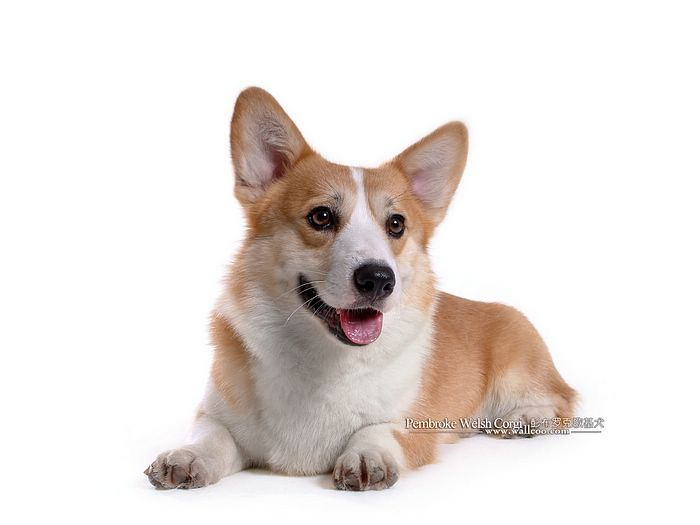 corgie poos for sale in the nashville tennesssee area