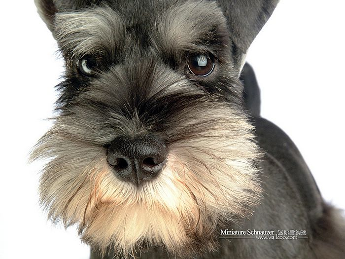 Dogs - Miniature Schnauzer Puppy Wallpapers Miniature Schnauzer ...
