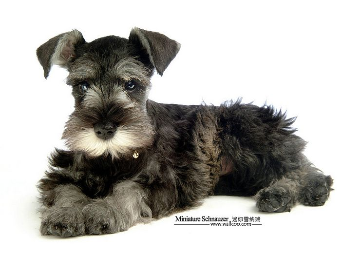 Miniature Schnauzer Puppies Photos - Miniature Schnauzer Dog ...