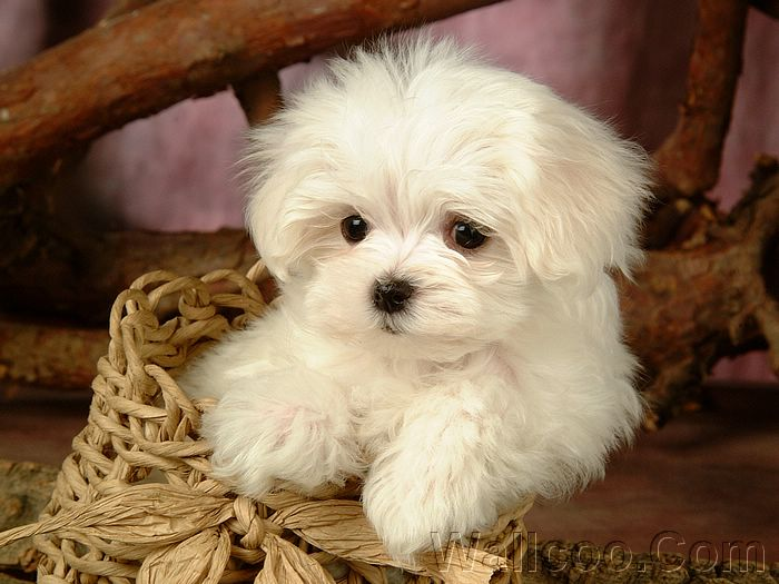 fluffy miniature dogs - photo #24