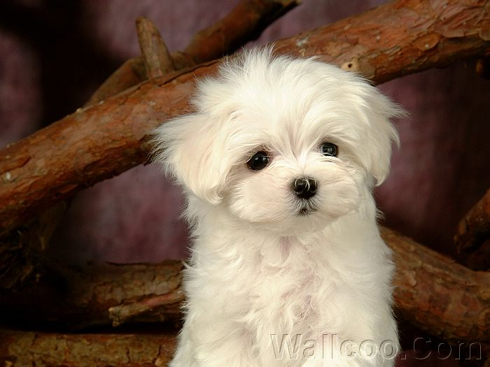 ... Maltese Puppies (Vol.2) :1920*1200 Lovely Furry Maltese Puppy