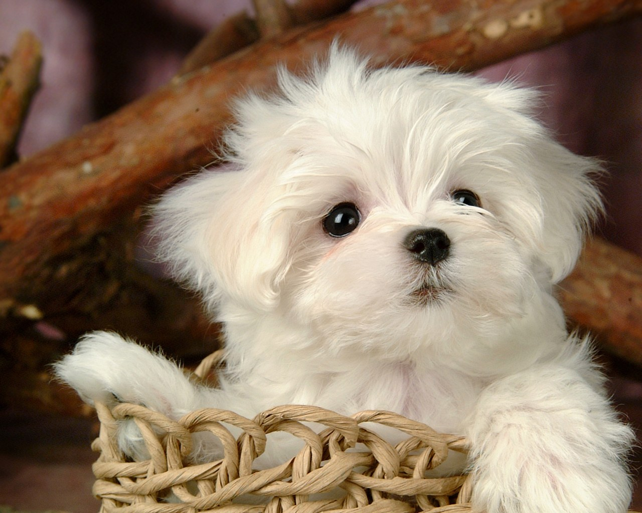 Fluffy Maltese Puppy Dogs - White Maltese Puppies wallpapers