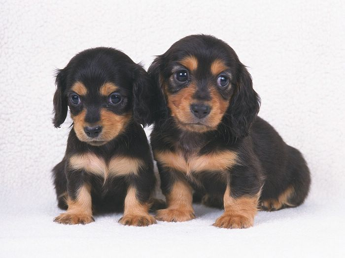 ... 1200 Two Miniature Dachshund Puppies - Miniature Dachshund Dogs Photos