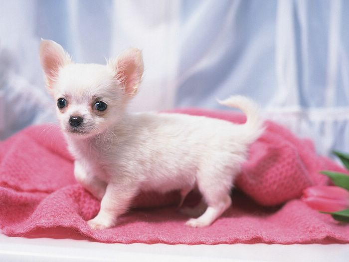 ... puppies - 1600*1200 Cute Chihuahua Puppy - Chihuahua Puppies Photos 19