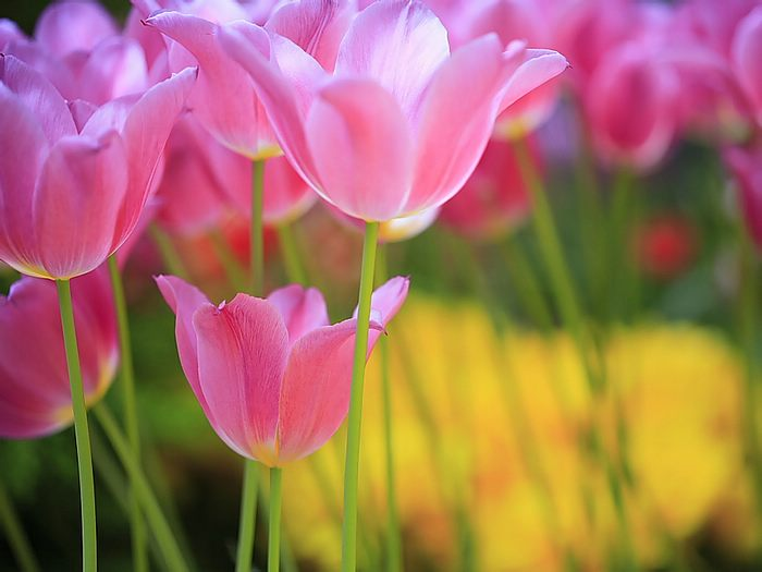 Hd flower wallpaper free tulip flower wallpaper thecheapjerseys